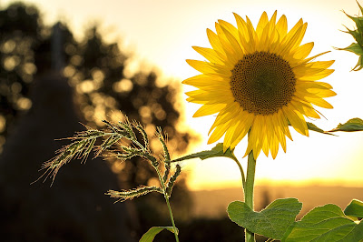 Sunflower in a sunny field