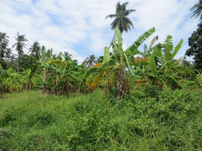 Банановые деревья