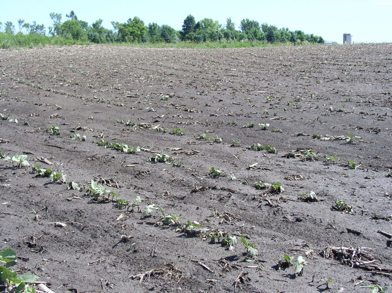 Guide to deciding whether to replant soybeans | agdaily.