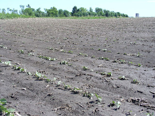 hail-damaged-soybean