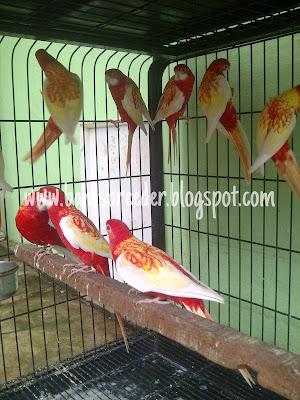 Jual burung rosella rubino