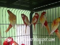Burung Parkit Rosella
