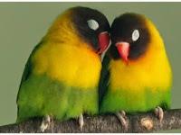 Mengatasi Lovebird Sering Tidur Di Lomba Pada Musim Hujan