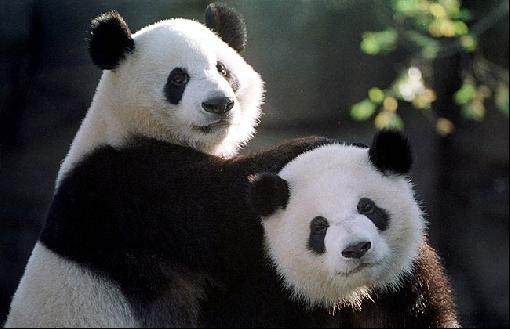 Cute Panda Bears In Photos-Pictures