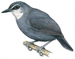 Oneillornis lunulatus