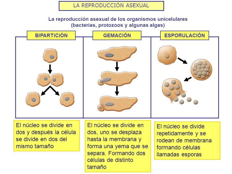 Tipos de reproduccion asexual bacteriana