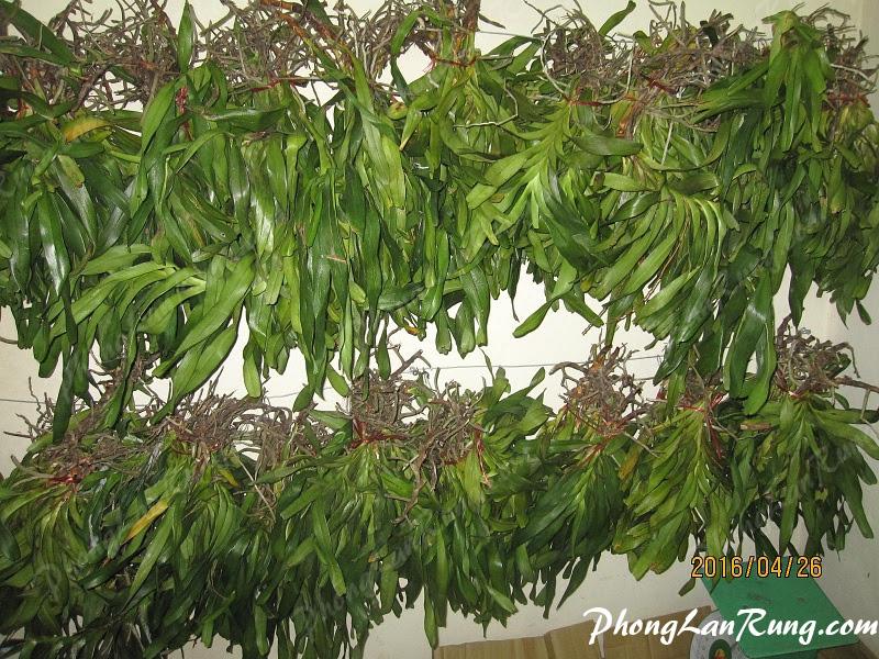 Quế Lan Hương cung cấp tại PhongLanRung.com