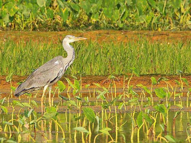 Ardea cinera, bird, water, taro plants