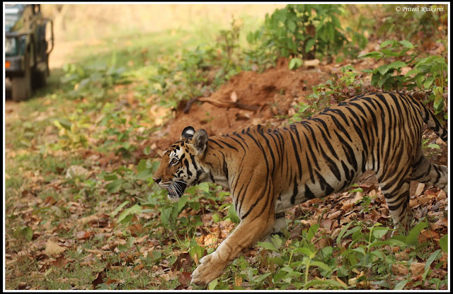 Gressfull walk, Tigress at Kanha National Park