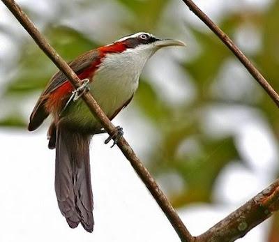 Mengenal Dekat Dan Cara Merawat Burung Cucak Kopi Agar Cepat Gacor