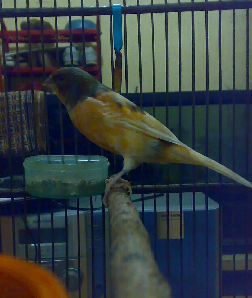 Budidaya Burung Kenari Pdf