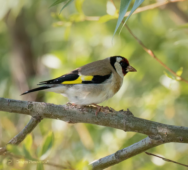 Goldfinch (Carduelis carduelis), is a small passerine bird in the finch family that is native to Europe, North Africa and western Asia.