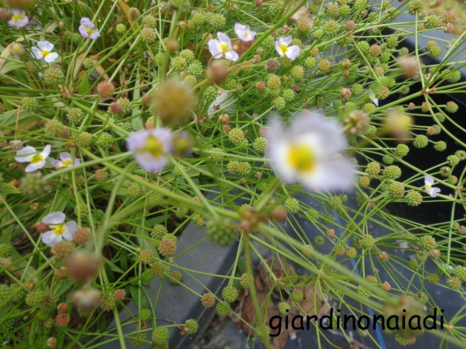 Il giardino delle naiadi laghetti a giugno for Alghe filamentose nel laghetto