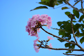 Pink Roble Flower
