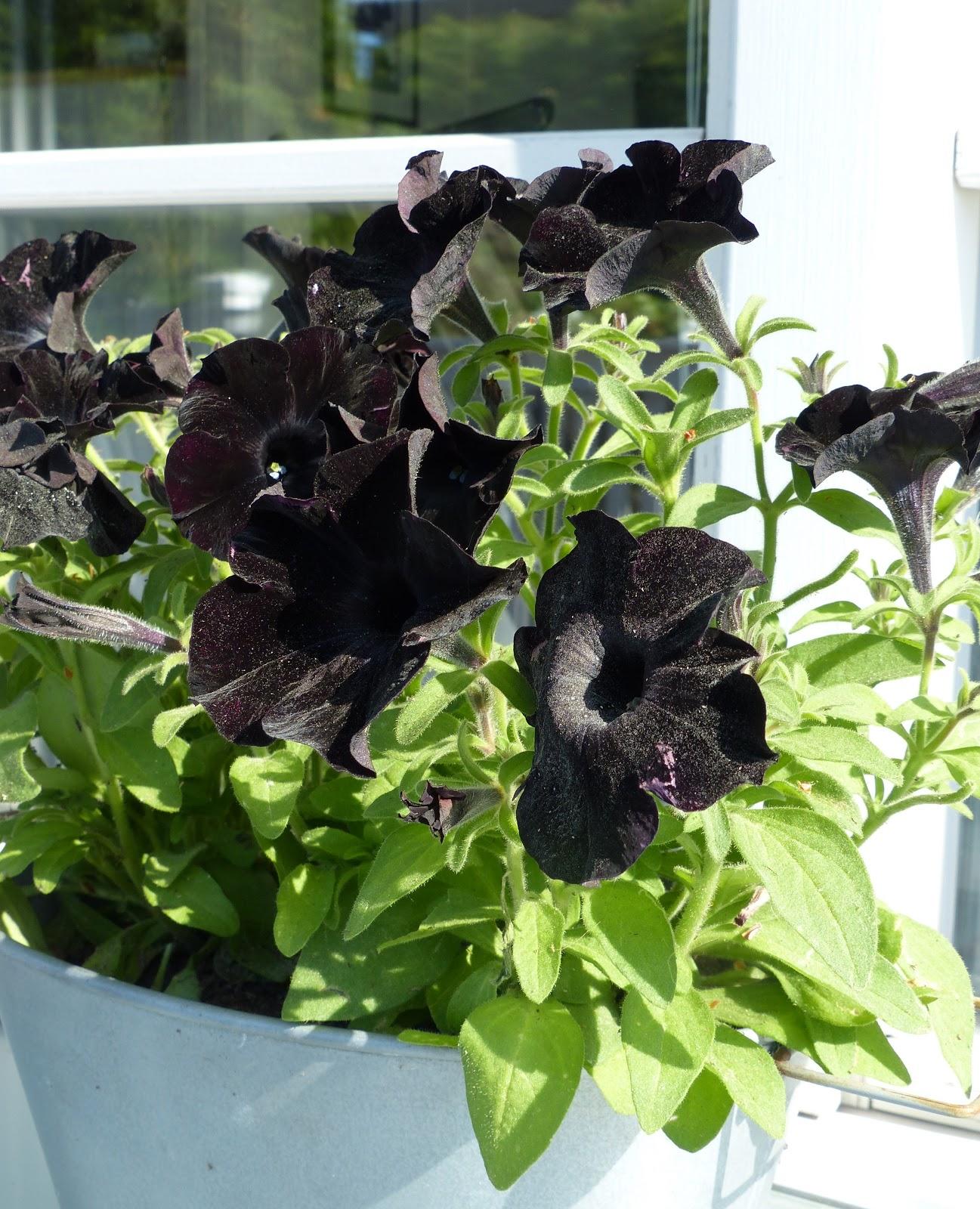 Musta Petunia