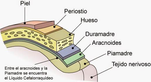 Meninges Anatomia Del Sistema Nervioso