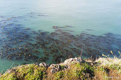 Kelp Beds off Rosario Head