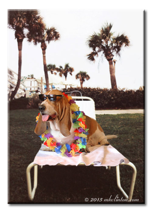Basset Hound on lounge chair and wearing a lei