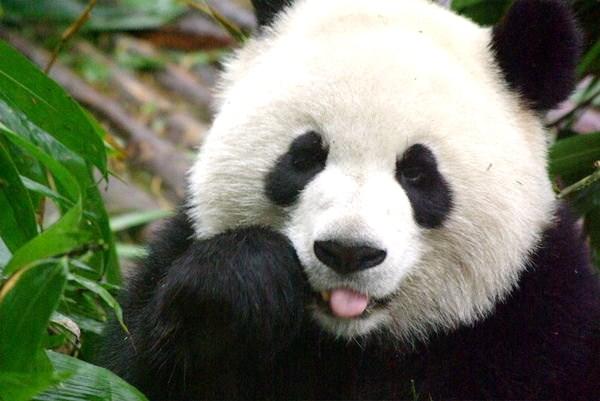 Deskripsi Tentang Panda Annyeong Boy