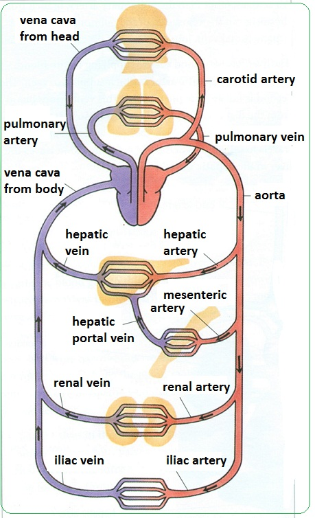 animal cell diagram labeled with functions 1 ohm speaker wiring # 72 arteries, veins and capillaries - structure | biology notes for igcse 2014