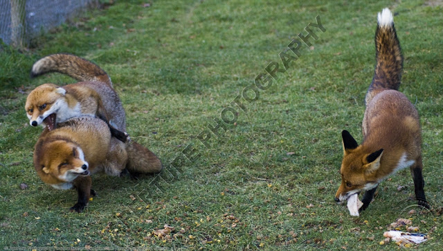 Two foxes fighting whilst a third eats, ignoring them