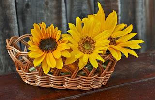 gambar background bunga matahari