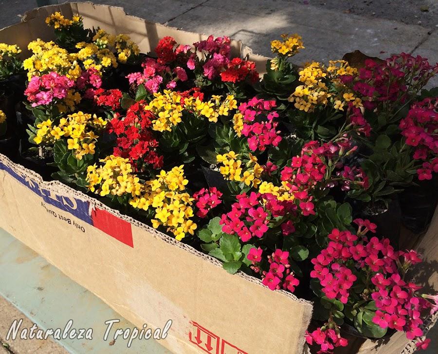 Venta de esquejes de variedades de la planta Kalanchoe blossfeldiana