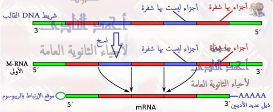 m.rna - المناطق المشفرة فى الجين وغير المشفرة - ذيل عديد الأدينين - موقع الإرتباط بالريبوسوم