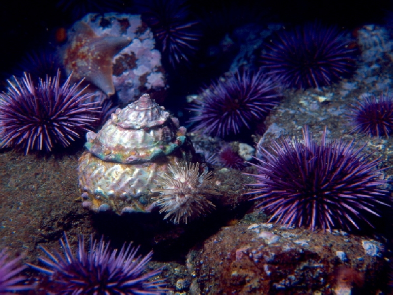 Purple Sea Urchin Facts | All Five Oceans