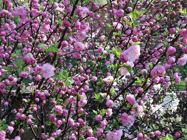kwiaty migdałka