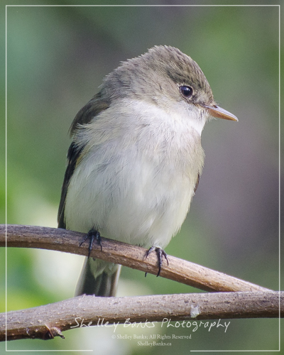 Alder Flycatcher (or Willow Flycatcher). Copyright © Shelley Banks, all rights reserved.