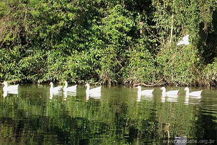 Imagem do lago e patos no parque ecologico do tietê