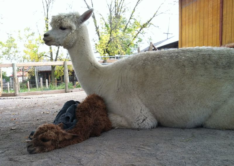 Baby Animals: Cria 10