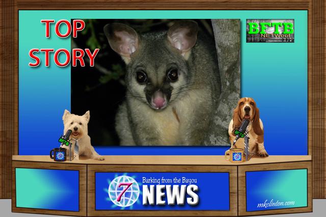 BFTB NETWoof News Australian Opossum