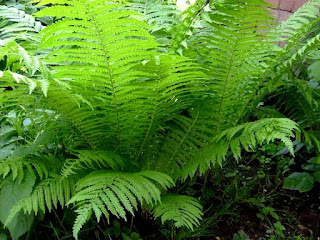 male fern herb