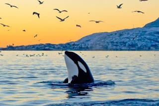 Orca , Animale di Potere e Totem