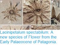 https://sciencythoughts.blogspot.com/2018/04/lacinipetalum-spectabilum-new-species.html