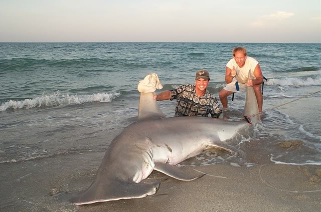 largest hammerhead shark -#main