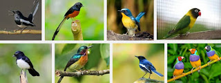 Daftar Harga Burung Kicau Terbaru Pasar Burung Pramuka Jakarta 2016