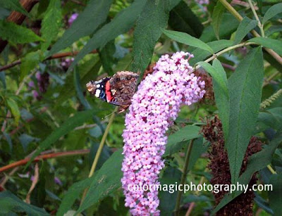 Red admiral on butterfly bush flower