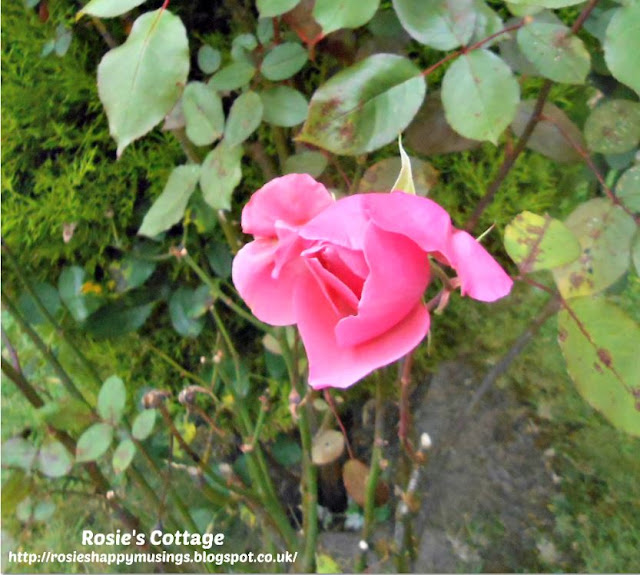 Beautiful Autumn Rose