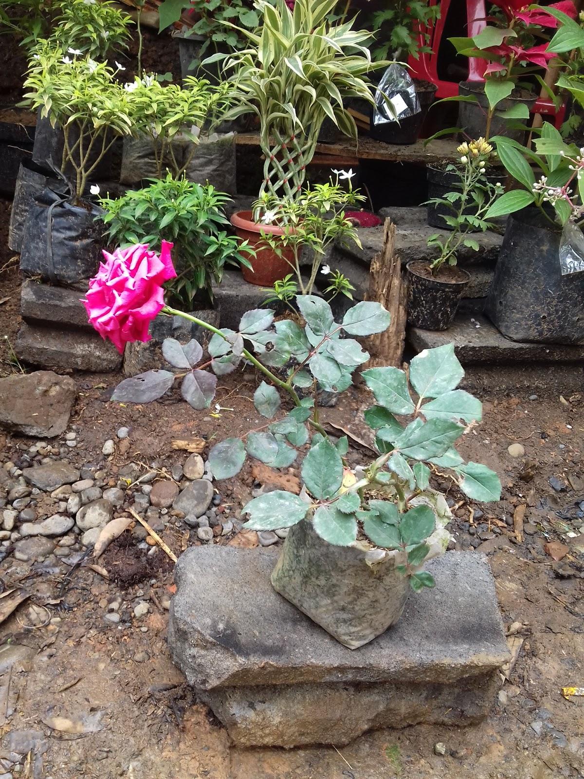 Pesona Bunga Mawar Yang Begitu Indah Pusat Bibit Hortikultura Unggul