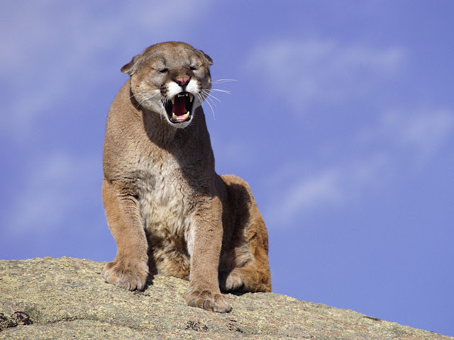Cougar facts and information 1
