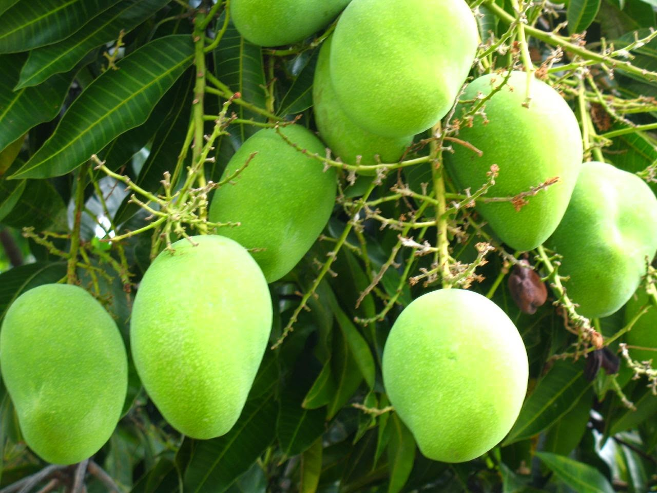 Health benefits of mango for women pregnant, during pregnancy and lose weight (Diet)