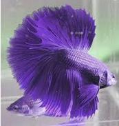 Jenis Ikan Cupang warna ungu