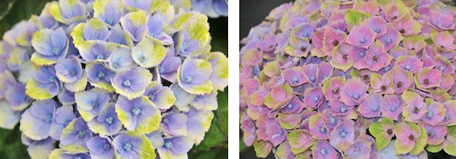 Amethyst Hydrangea close up