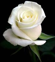 Bunga Mawar Putih Simbol Kesetiaan