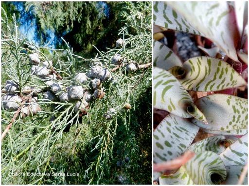 Frutos del ciprés / Planta ornamental - Chacra Educativa Santa Lucía