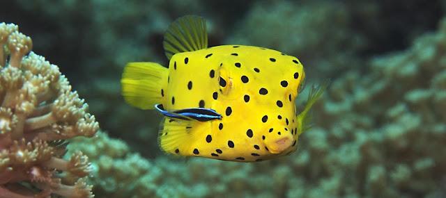 Gambar Ikan Yellow Boxfish - Budidaya Ikan