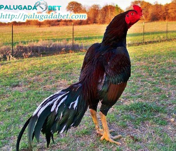 Info Seputar Sabung Ayam: Mengenai Pukul Mati Dari Ayam